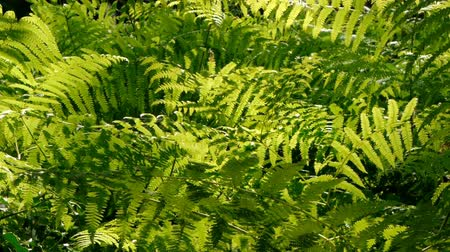 fotoszintézis : Frame full of backlit ferns for use as a texture background.