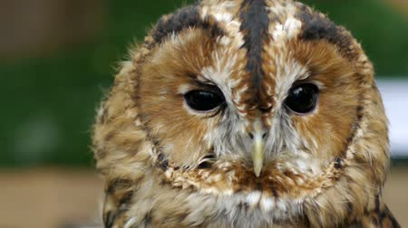 bird eye :  Tawny owl (Strix aluco). Stock Footage