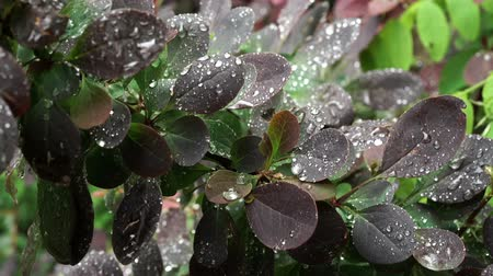 Rain drops on a the leaves of a Royal Purple shrub.