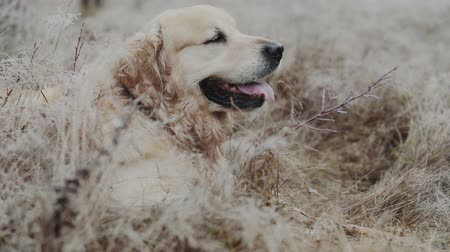 Happy Golden retriever dog breathless