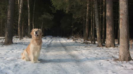 лабрадор : Golden retriever dog  wainting in forest
