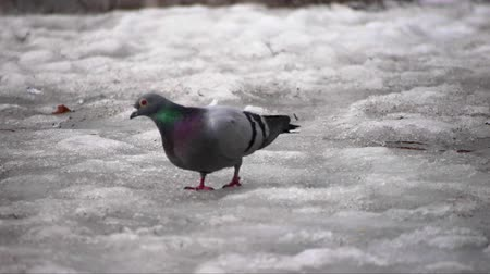 güvercin : pigeon on melting snow