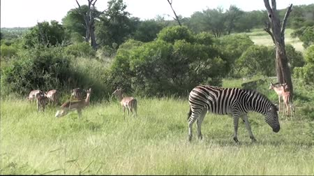 antilopa : zebras and impalas in kruger national park