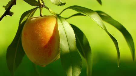 сырой : Juicy ripe colorful  fresh peaches on the tree.