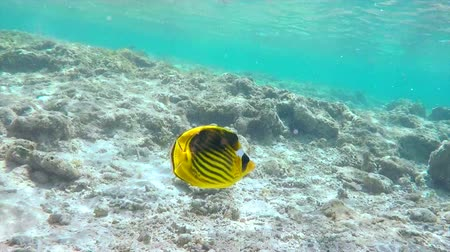 raccoon : Yellow Raccoon Butterflyfish With Black Stripes Floats Close Past the Camera Between the Rocks on Seabed Egypt Red Sea 4k Uhd Underwater Video