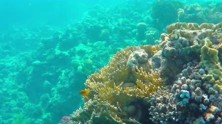 hínár : Coral reefs in Red sea, Egypt. Little golden fish swimming around in clean water. Underwater shot. 4K Ultra HD. Stock mozgókép