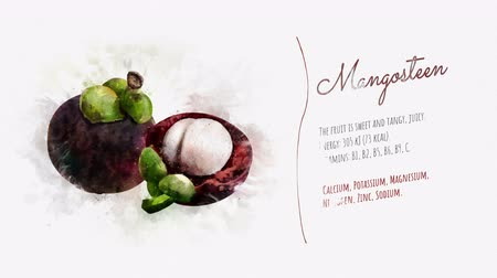 illustration and painting : Useful properties of Mangosteen