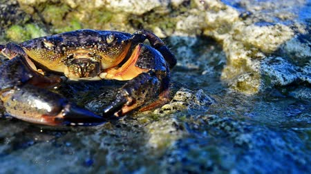 crustáceo : Large Stone crab goes to the water on the coastal rocks. Footage 1280x720