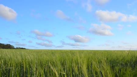 plodina : Wheat crop swais on the field against the blue sky. Footage 1920x1080. The Original video without any processing.