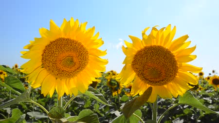tájak : Sunflowers on the field against a bright sky. Footage 1920x1080. The Original video without any processing.