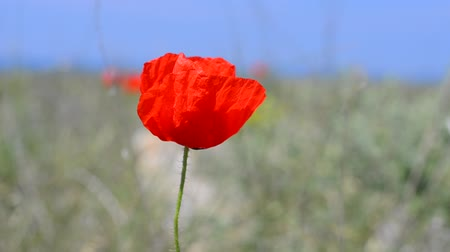 mák : Red poppy sways on the wind against the blue sky. Original high quality video without any processing. Footage 1920x1080. Stock mozgókép