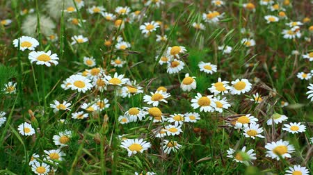 uncultivated field : Camomile field. Camomiles sways on a wind against the green meadow. Footage 1920x1080