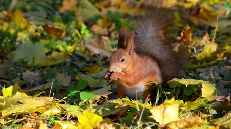 caído : Squirrel eating nuts among the fallen leaves in autumn forest