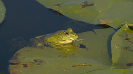 amphibia : Marsh frog sitting on the green leaves among water lilies on the lake. Original video for postprocessing