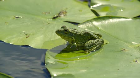 amphibia : Marsh frog sitting on a water lilies leaf in a lake