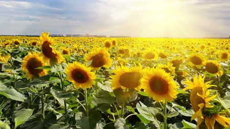 girassóis : Bright sun over the sunflower field in summer day