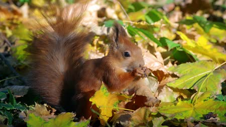 lískové ořechy : Red Squirrel eating nuts among the fallen leaves in autumn forest