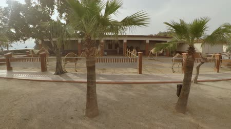 handheld shot : Handheld sideways walking view of camels Stock Footage
