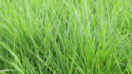 Green Grass - Video Background