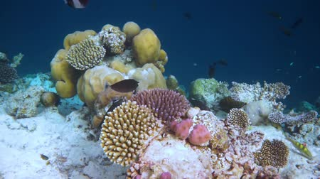 neobdělávaný : Reef with a variety of hard and soft corals and tropical fish. Maldives Indian Ocean.