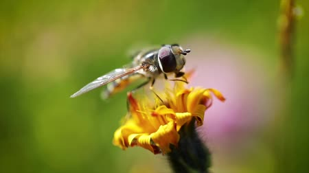 hoverfly : Wasp collects nectar from flower crepis alpina slow motion.