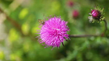 devedikeni : Wasp collects nectar from flower Milk Thistle in Alpine meadows. Video with shallow depth of field Stok Video