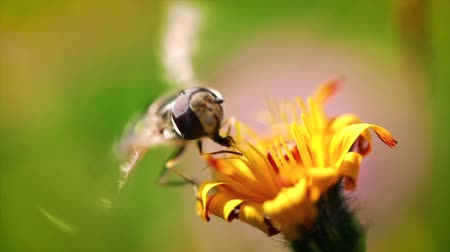 vida selvagem : Wasp collects nectar from flower crepis alpina slow motion.