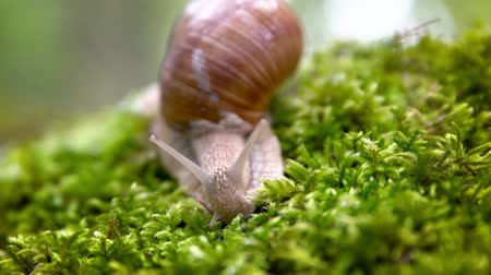 měkkýš : Helix pomatia also Roman snail, Burgundy snail, edible snail or escargot, is a species of large, edible, air-breathing land snail, a terrestrial pulmonate gastropod mollusk in the family Helicidae.