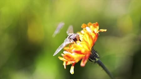 hoverfly : Wasp collects nectar from flower crepis alpina