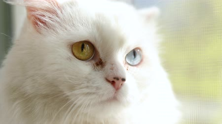 melanin : Domestic cat with complete heterochromia. White cat with different colored eyes. Heterochromia is a difference in coloration, usually of the iris.