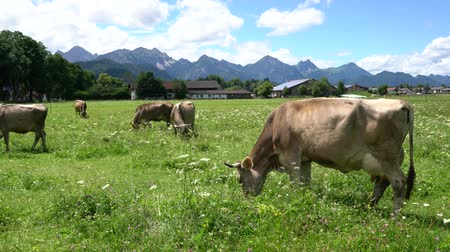 cow farm : Cow pasture on the Alps
