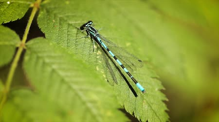 libélula : Blue dragonfly on the green leaf of the plant. Zygoptera Coenagrioniade damselfly is one of the many damselflys found around the world. Vídeos