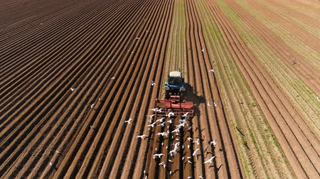 ploughing : Agricultural work on a tractor farmer sows grain. Hungry birds are flying behind the tractor, and eat grain from the arable land.