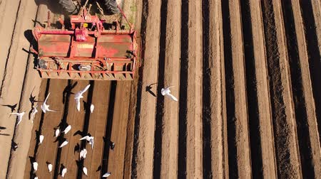 plough land : Agricultural work on a tractor farmer sows grain. Hungry birds are flying behind the tractor, and eat grain from the arable land.