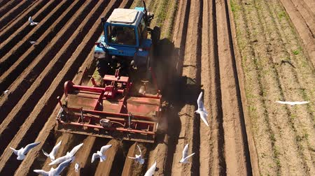 from behind : Agricultural work on a tractor farmer sows grain. Hungry birds are flying behind the tractor, and eat grain from the arable land.