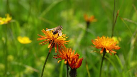 hoverfly : Alpine meadow. Wasp collects nectar from flower crepis alpina.