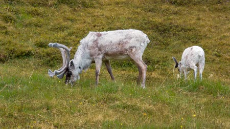sob : Reindeer in the North of Norway, Nordkapp