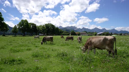 çimenli : Cow pasture on the Alps