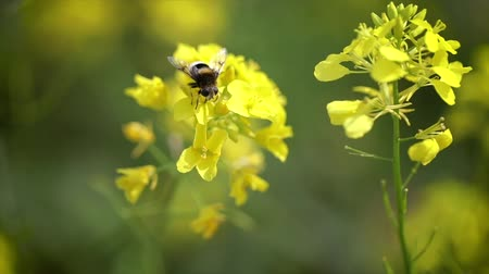 hardal : Bee collects nectar from mustard rapeseed flower slow motion.