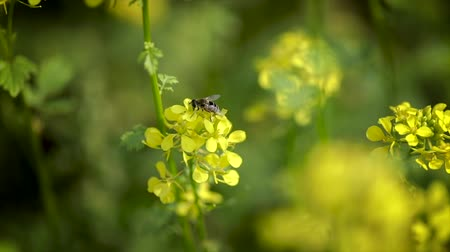 honeybee : Bee collects nectar from mustard rapeseed flower slow motion.