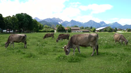prairie : Cow pasture on the Alps