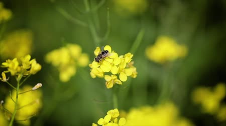 mustár : Bee collects nectar from mustard rapeseed flower slow motion.