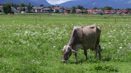 düve : Cow pasture on the Alps