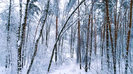 acalmar : Snowy branches in forest. Winter fairy background Stock Footage