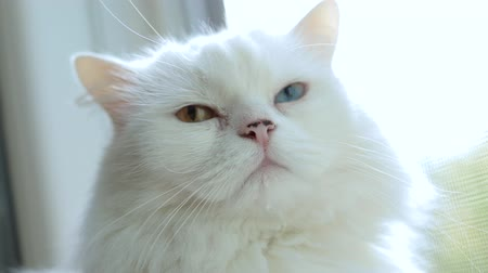mutation : Domestic cat with complete heterochromia. White cat with different colored eyes. Heterochromia is a difference in coloration, usually of the iris.