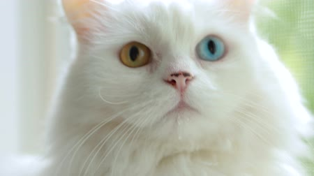odd eyed : Domestic cat with complete heterochromia. White cat with different colored eyes. Heterochromia is a difference in coloration, usually of the iris.