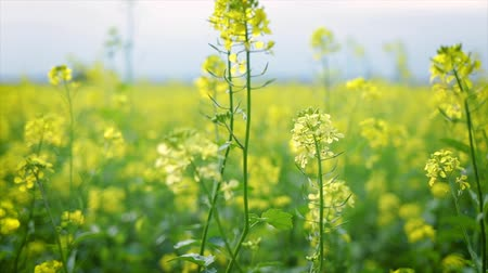 open blossom : Mustard flowers. Mustard? mystical flower of happiness and health.
