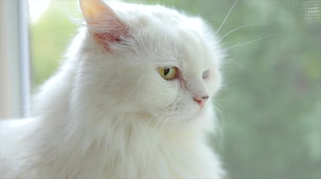 geny : Domestic cat with complete heterochromia. White cat with different colored eyes. Heterochromia is a difference in coloration, usually of the iris.