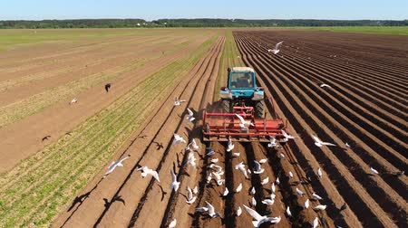 gyárt : Agricultural work on a tractor farmer sows grain. Hungry birds are flying behind the tractor, and eat grain from the arable land.