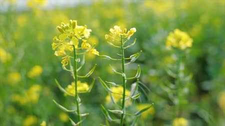 mustár : Mustard flowers. Mustard? mystical flower of happiness and health.